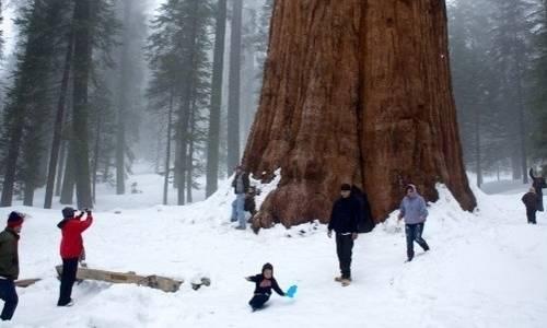 dünyadaki en yaşlı yaşayan ağaç