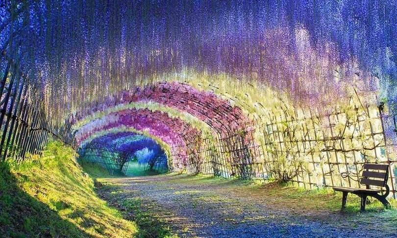wisteria tunnel japonya